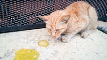 cách chữa mèo bị tiêu chảy tại nhà