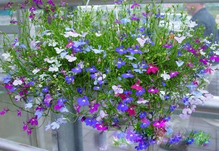 hoa thúy điệp