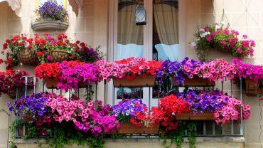 hoa trồng ban công chịu nắng