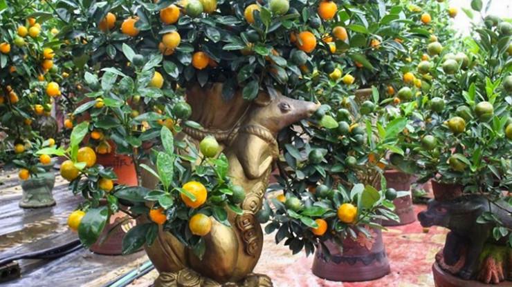 trồng quýt trong nhà