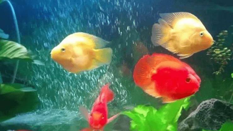 kỹ thuật nuôi cá hồng két