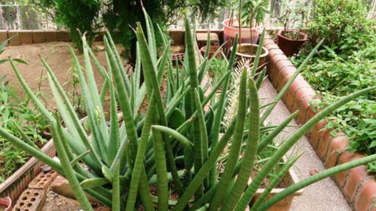 cây lưỡi hổ cylindrica