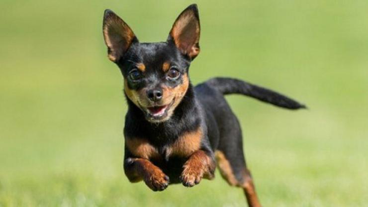 các giống chó dễ nuôi trong nhà