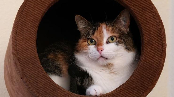 mèo tam thể có ý nghĩa gì